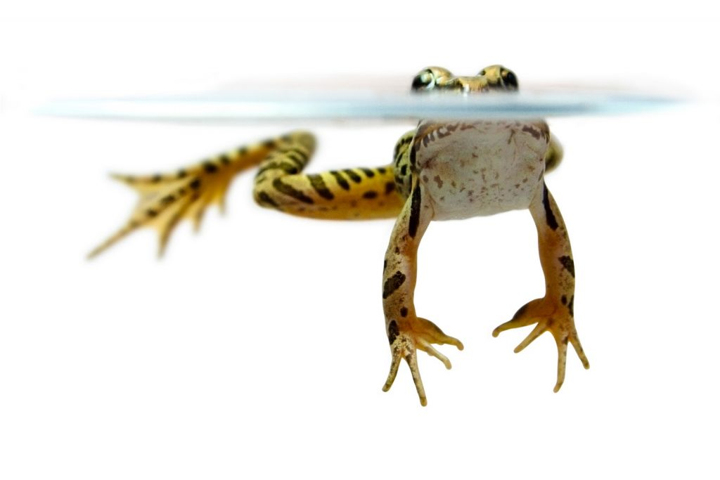 pickerel-frog-floating