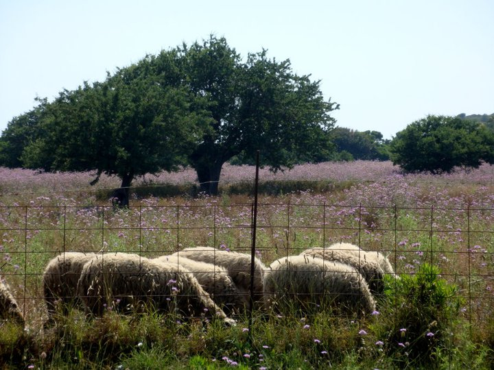 Sheep and flowers in Greece