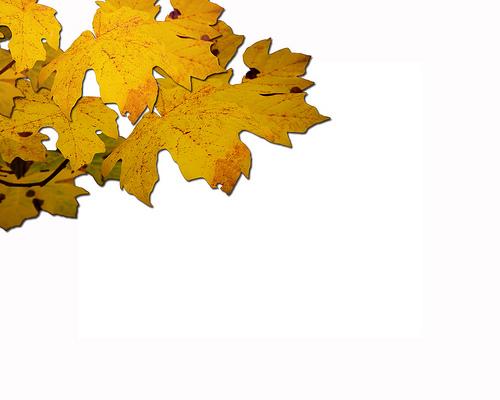 fall_leaves_white_bkgrd