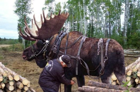 Fake photo of a moose hitched up to haul logs