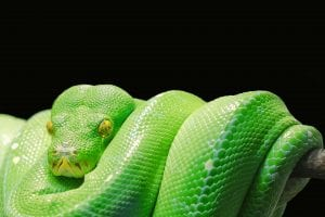 Python snake picture