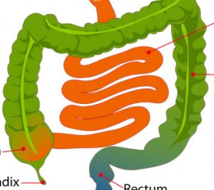 Third Stage - Small:Large Intestine