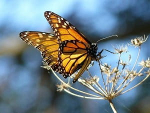 796px-Monarch_Butterfly_resting_on_fennel,_at_the_Pismo_Butterfly_Grove,_California
