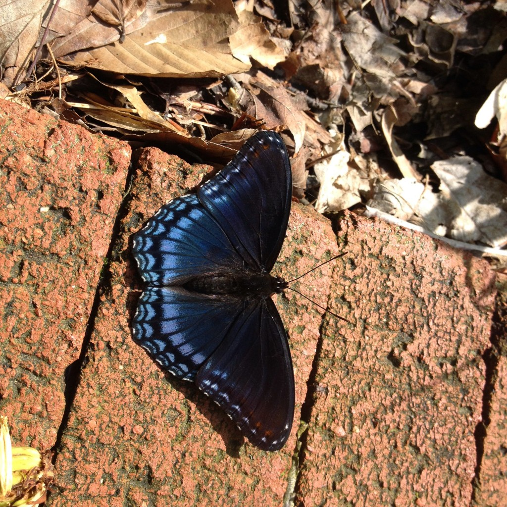 Red-spotted purple, Limenitis arthemis