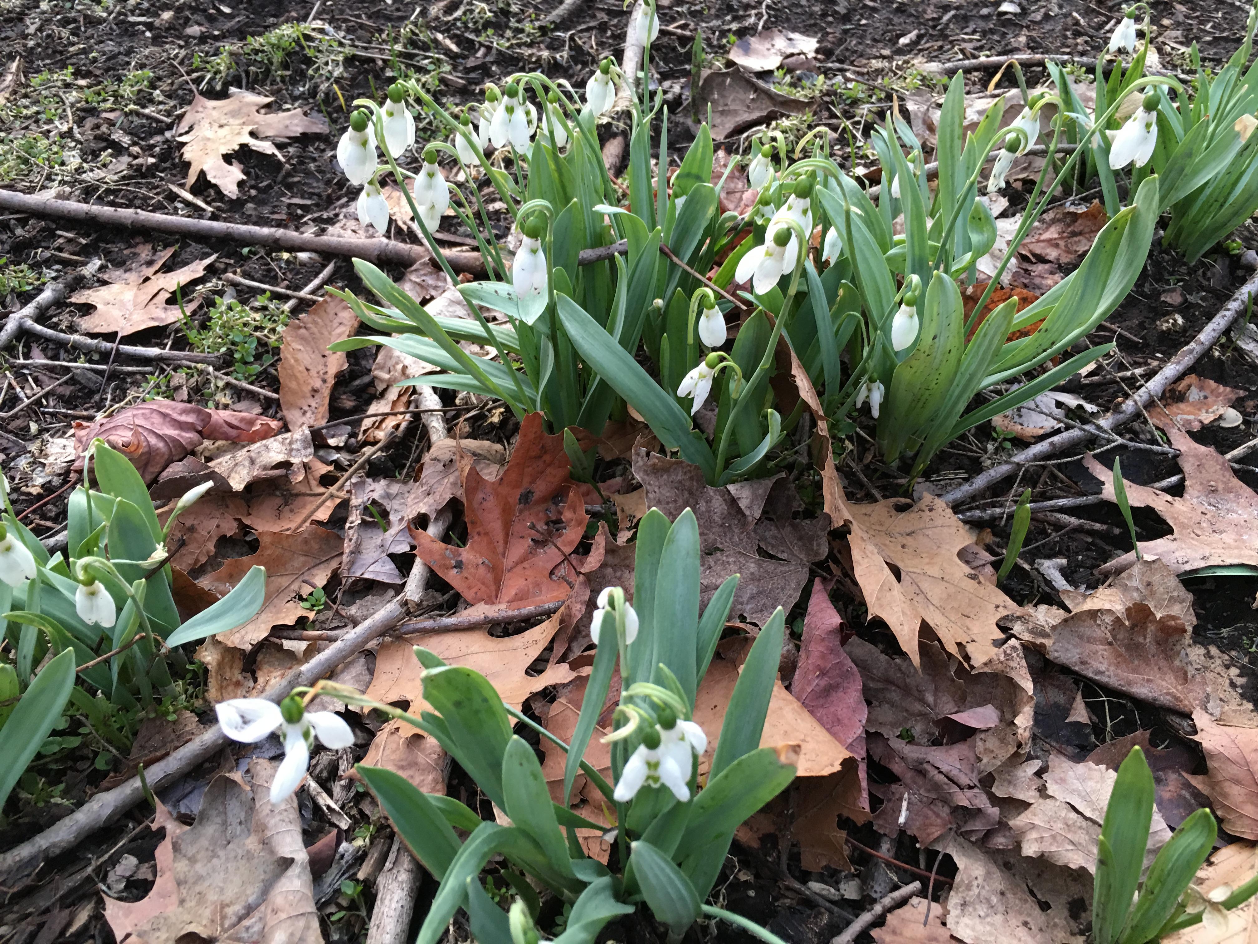 First Spring Ephemerals In Dunn Woods 2016 Dunn Woods Memories
