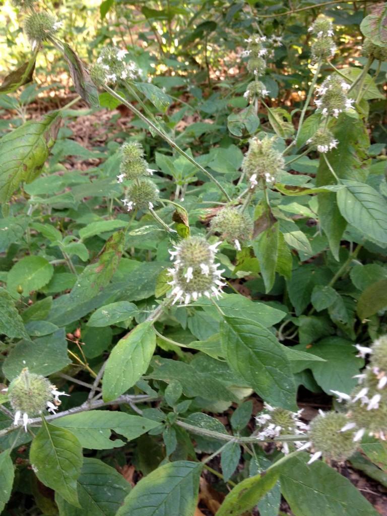 Field mint-Mentha arvensis