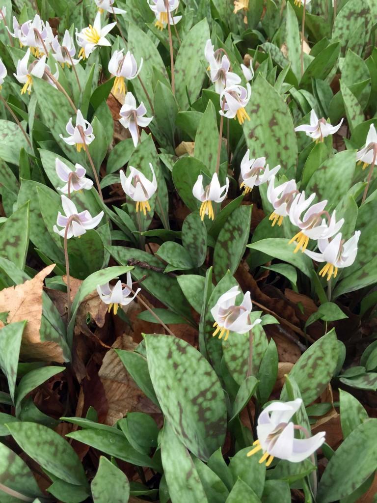 White Trout Lily -Erythronium albidum