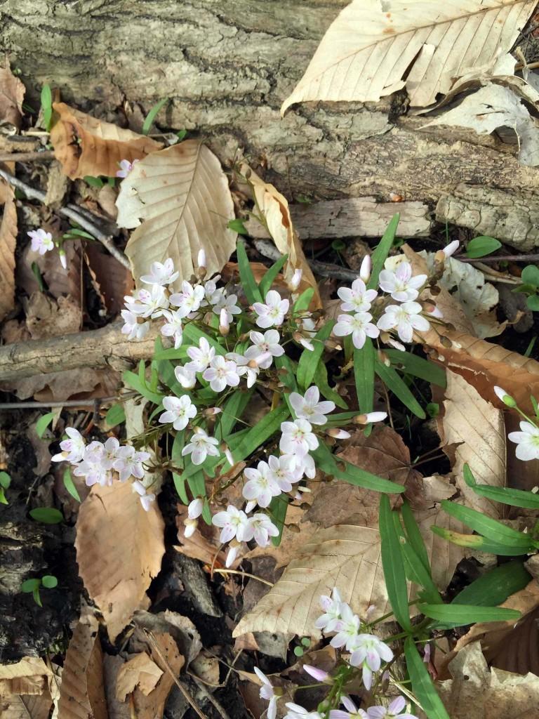 Spring Beauty-Claytonia virginica