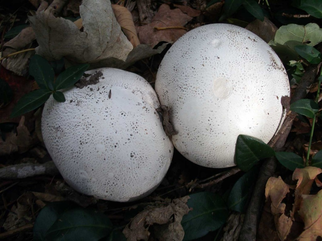 Giant Puffball - Calvatia gigantea - great eating mushroom if the insides are solid white.
