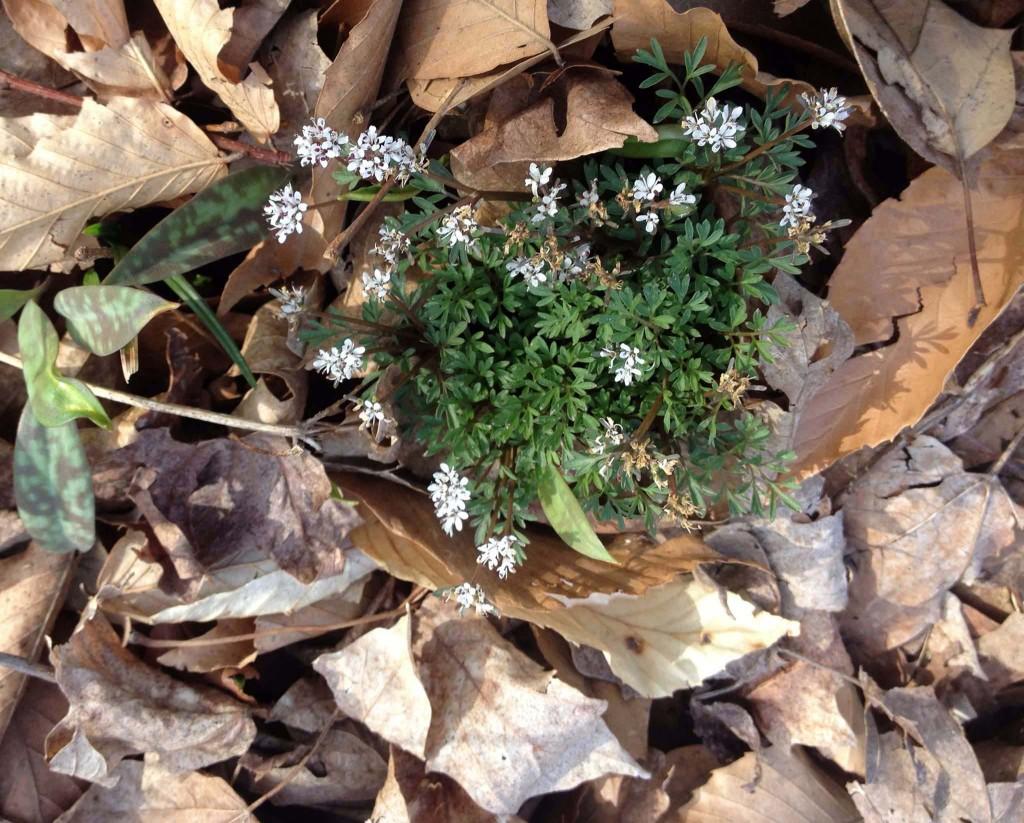 PEPPER AND SALT-Erigenia bulbosa, often appears early and is aka Harpinger of Spring