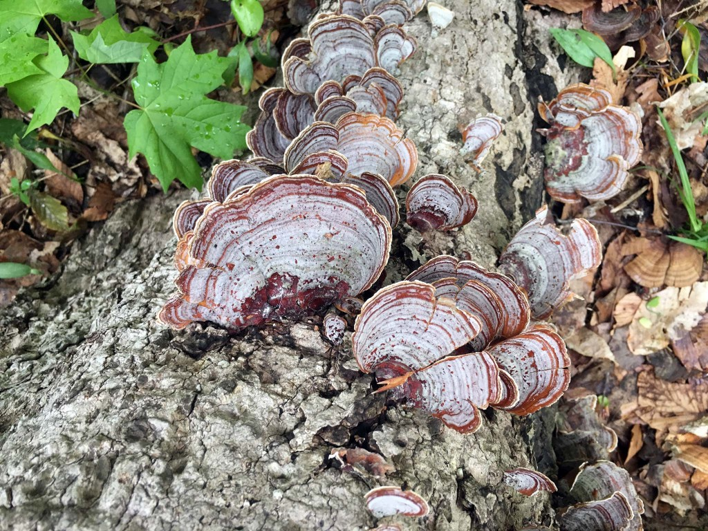Stereum Ostrea, False Turkey Tail
