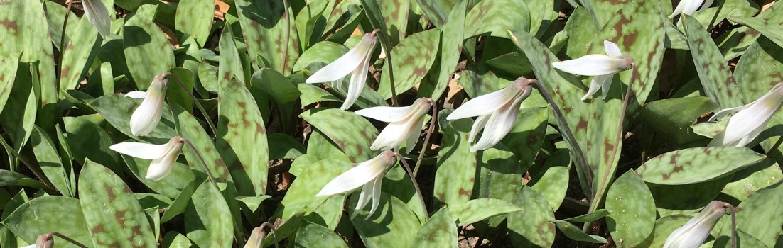 White Trout Lily, Erythronium albidum