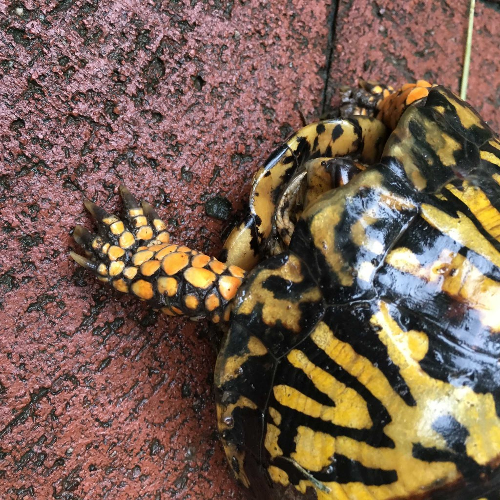 Eastern box turtle, Terrapene carolina carolina