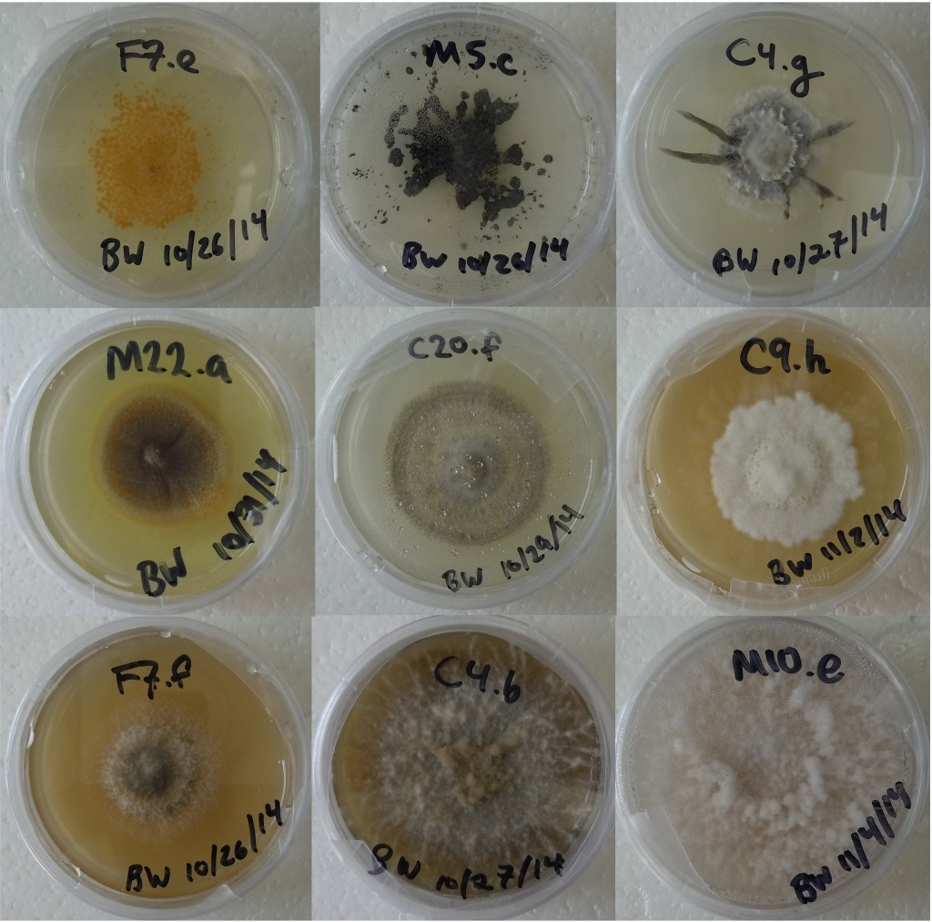 Nine photographs of petri dishes, each with a different variety of fungus growing in agar. Each dish is labelled with a catalogue number and a date.