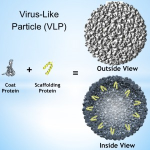 An outside and inside view of a spherical virus-like particle (VLP), and its building blocks: a coat protein and a scaffolding protein.