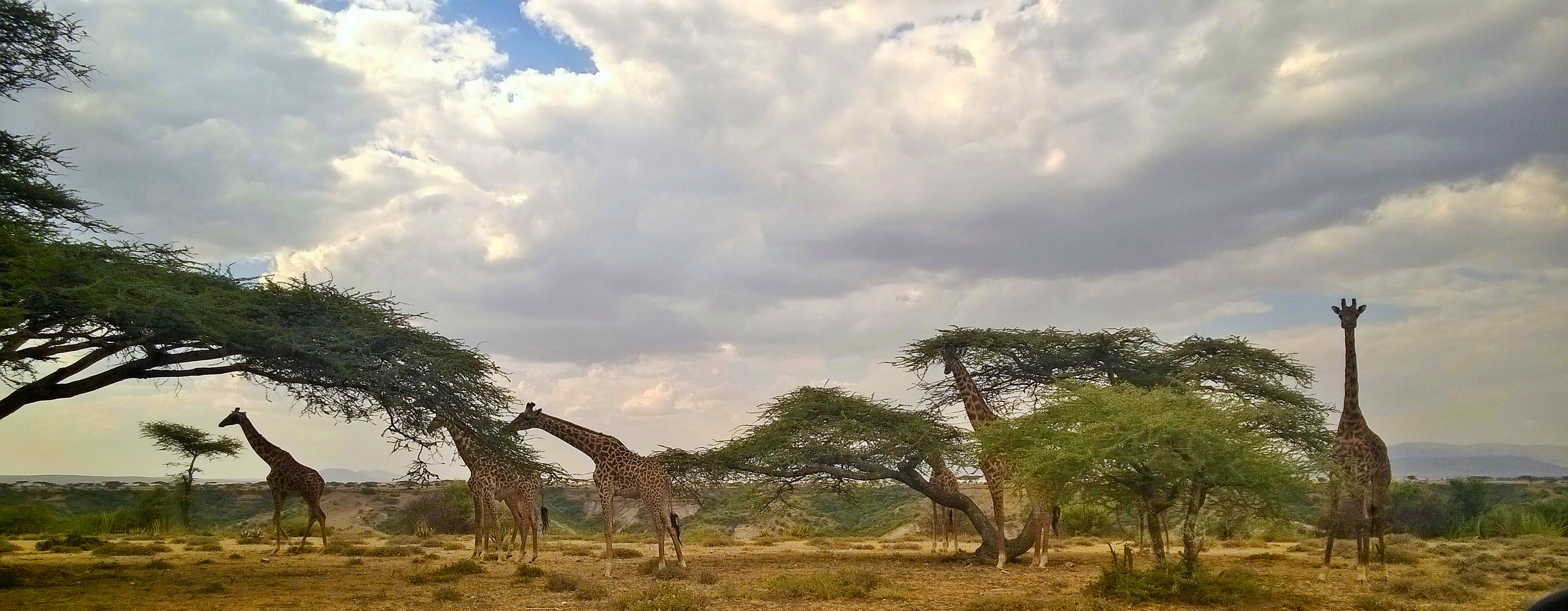 Six giraffes eating from acacia trees at the top of the gorge.