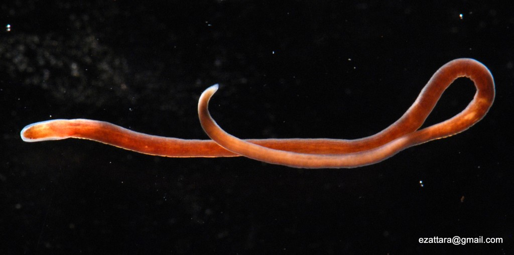 Pink colored worm, with two small eyes visible at the head end of the animal (left end in the photo)