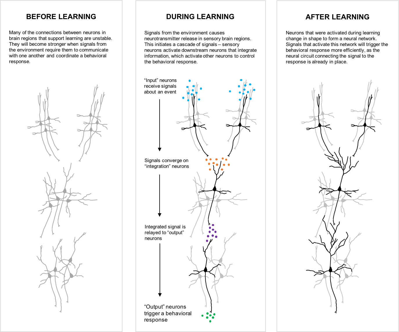 """A figure with three panels, from left to right titled """"Before Learning,"""" """"During Learning,"""" and """"After Learning."""" The first panel, """"Before Learning,"""" reads: """"Many of the connections between neurons in brain regions that support learning are unstable. They will become stronger when signals from the environment require them to communicate with one another and coordinate a behavioral response."""" Underneath the text in that panel, three groups of neurons are shown in grey. The second panel, """"During Learning,"""" reads: Signals from the environment causes neurotransmitter release in sensory brain regions. This initiates a cascade of signals – sensory neurons activate downstream neurons that integrate information, which activate other neurons to control the behavioral response."""" Underneath the text in that panel, the same three groups of neurons are shown, but one neuron in each group is shown in black. Small circles representing neurotransmitters are depicted between each black neuron. A flow diagram displays the following text next to each group of neurotransmitters: """"'Input' neurons receive signals about an event,"""" """"Signals converge on 'integration' neurons,"""" """"Integrated signal is relayed to 'output' neurons,"""" and """"'Output' neurons trigger a behavioral response."""" The third panel, """"After Learning,"""" reads: Neurons that were activated during learning change in shape to form a neural network. Signals that activate this network will trigger the behavioral response more efficiently, as the neural circuit connecting the signal to the response is already in place."""" Underneath the text in that panel, the same black neurons are shown, but have additional projections (dendrites) so that neurons in each group contact those in neighboring groups."""