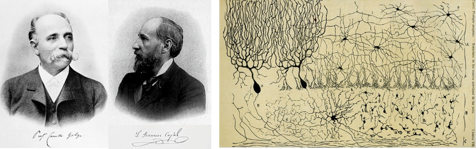 "Left panel: Two black and white portraits, one of Camillo Golgi and another of Santiago Ramon y Cajal. Each individual's signature is shown below his portrait. Right panel: An illustration of four different neuron types. A few neurons of each type are drawn in black on brown paper. All cell bodies are depicted as black ovular shapes, but vary in size, depending on the type of neuron. Dendritic branches, depicted as sinuous lines extending from each cell body vary in length and thickness, and some neurons have more densely packed dendrites than others. Axons, shown as long, thin lines with only a few branches, extend from neurons in the top left and bottom middle areas of the page to form a loose, net-like pattern. Descriptions of neuron types: Top row, left: Two large neurons, each with only one dendritic ""tree"" (one dendritic ""trunk"" extends from the cell body, then branches many times). Branches are long and densely packed, and cross over one another to form a net-like pattern. Top row, right: Nine neurons, each with approximately six dendritic trees with ""trunks"" that extend from all sides of the cell body. Dendrites are long, thin, and sparsely distributed throughout the area surrounding the cell body. Bottom row, middle: A neuron with seven dendritic trees extending from all sides of the cell body. Dendrites are thicker and shorter than those previously described. Bottom row, right: Twenty small neurons, each with only three short, thick dendrites projecting from each side of the cell body."