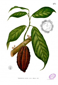 Botanical drawing of a Chocolate Tree (Theobroma Cacao), showing a chocolate seed pod and several leaves attached to a branch.