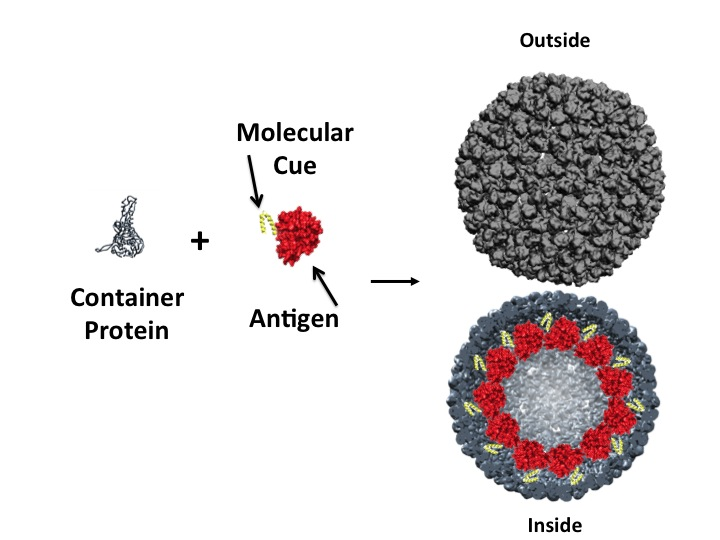 Grey container protein, plus sign, red antigen protein fused to yellow molecular cue. Black arrow followed by inside and outside view of nanocage/nanocontainer. The exterior of the nanocontainer is composed of the grey container protein and the interior is filled around the lumen with the antigen-molecular cue fusion.