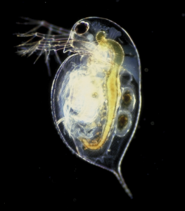 Small translucent invertebrate visible against a black background. Organs and other internal tissues visible against background.