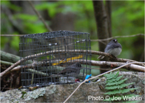 A male dark-eyed junco (free-living) courts a female dark-eyed junco (in the cage) in a behavioral trial.