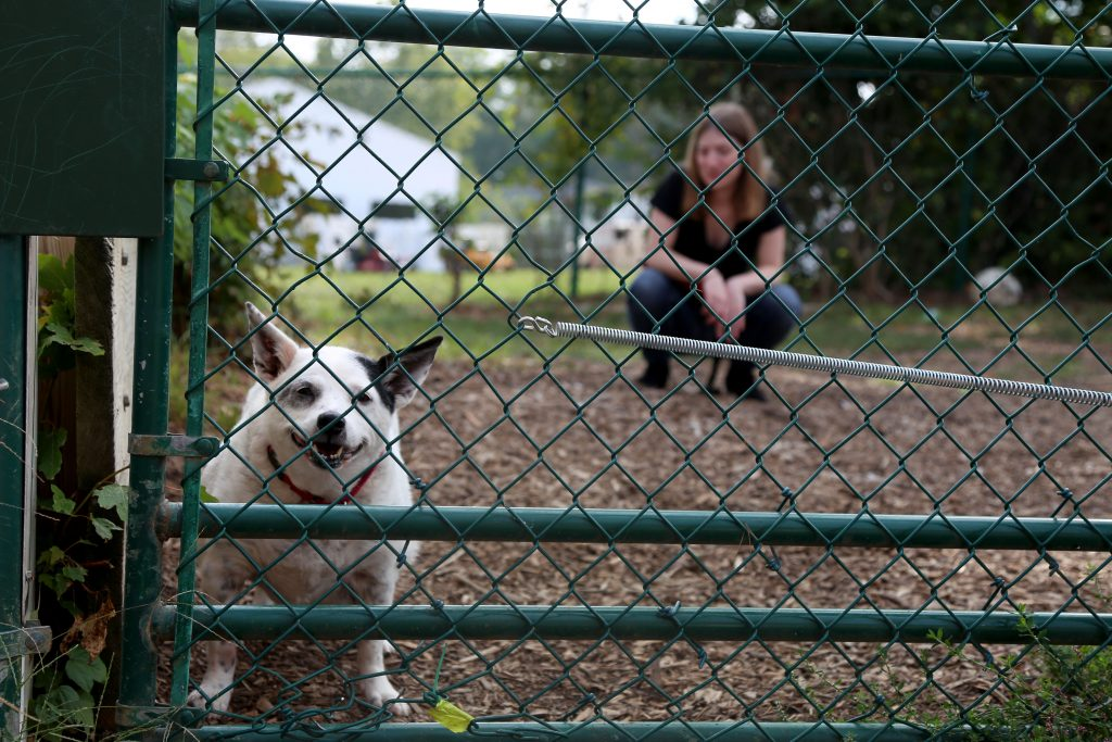 A small white and black dog stands behind a fence, looking at the camera. Sam is shown, out of focus, in the background.