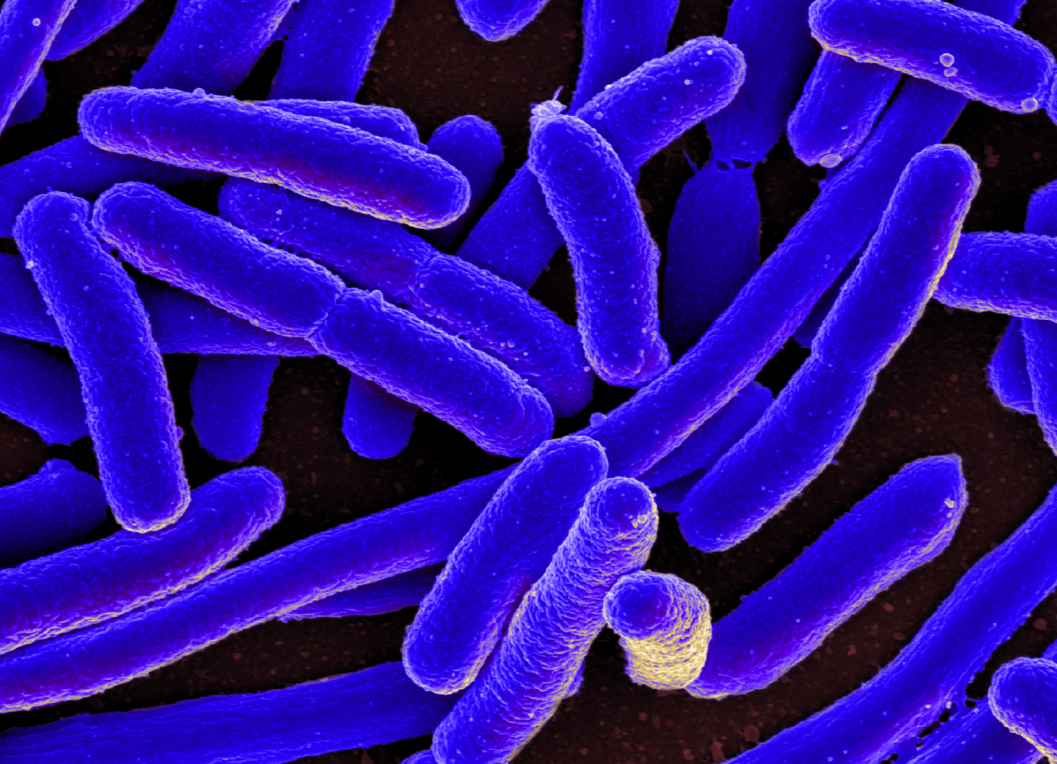 Cylindrical bacterial cells are shown in blue against a black background