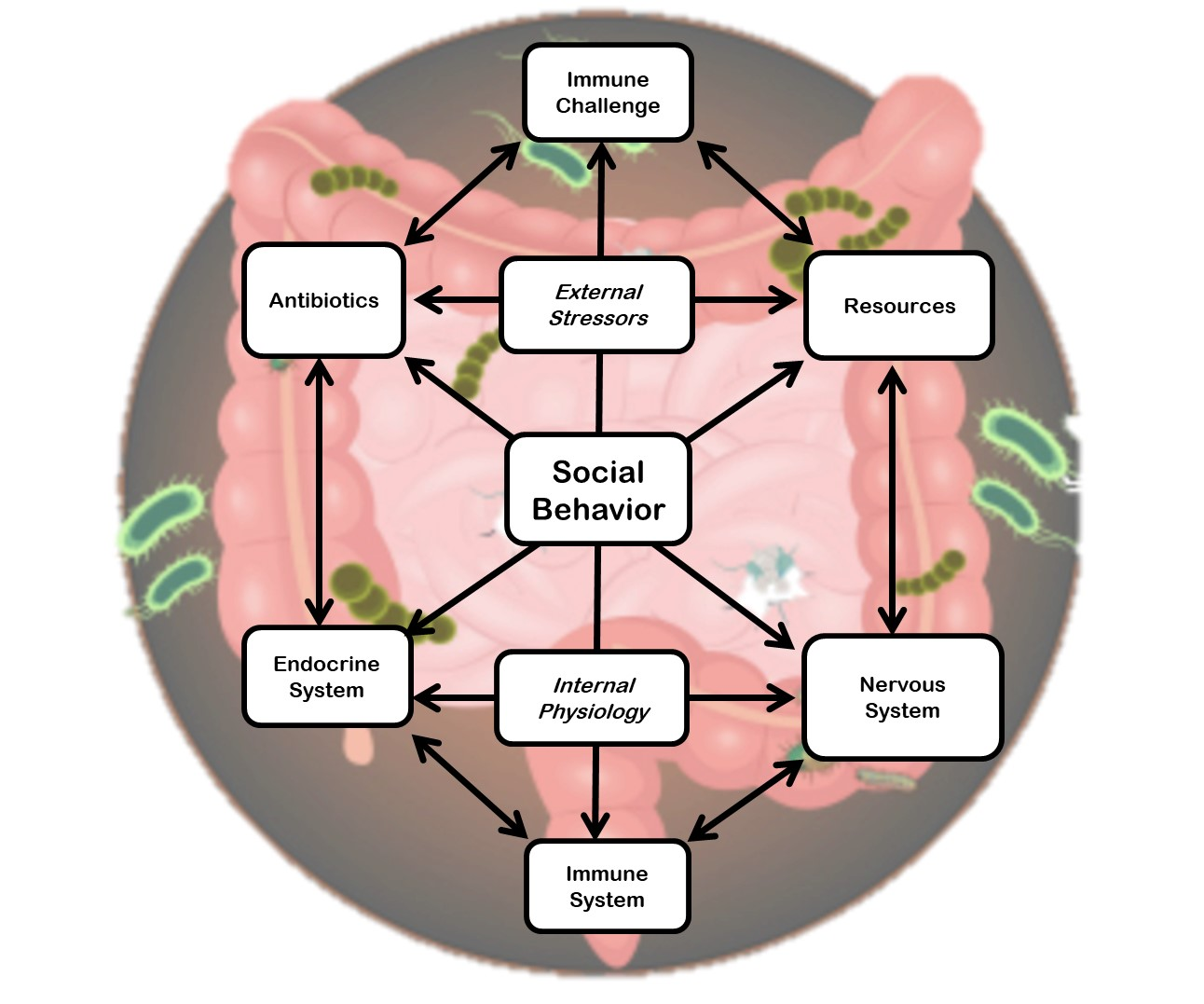 A drawing of microorganisms living in the small and large intestines. The potential pathways by which these microbiota can influence social behavior are superimposed over the intestines.