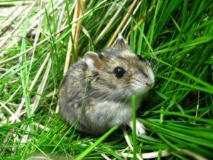 A brown-coated Siberian hamster in a bed of grass.