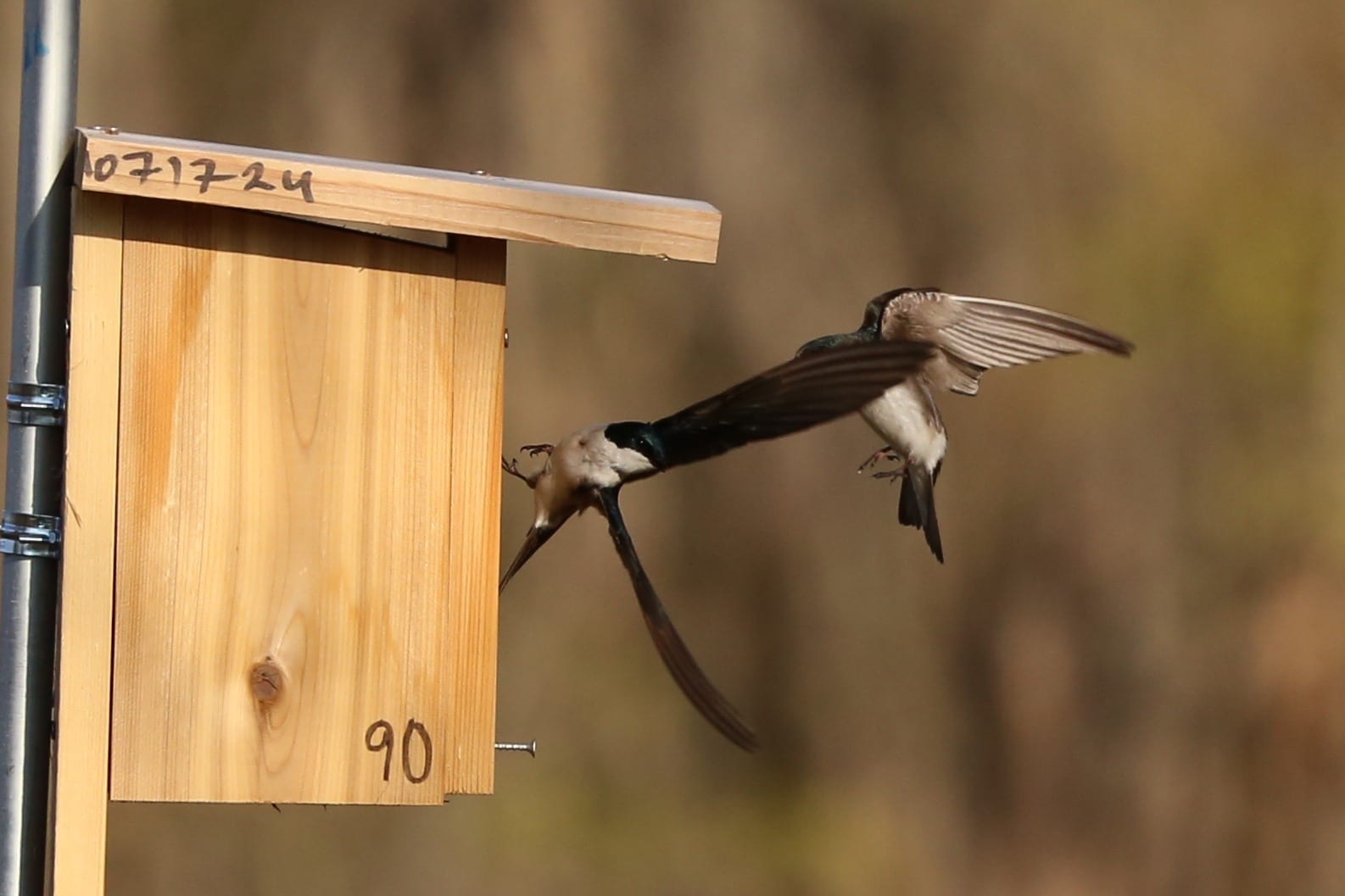 One adult bird in the background is chasing another bird in the foreground mid-air near a single wooden bird box attached to a metal pole. The bird in the background is arching its body and extending its legs towards the bird in the foreground, and the bird in the foreground is glancing at the other bird over its right shoulder. Both birds have white feathers on their abdomens, with iridescent green and blue feathers on their heads, necks, and backs.