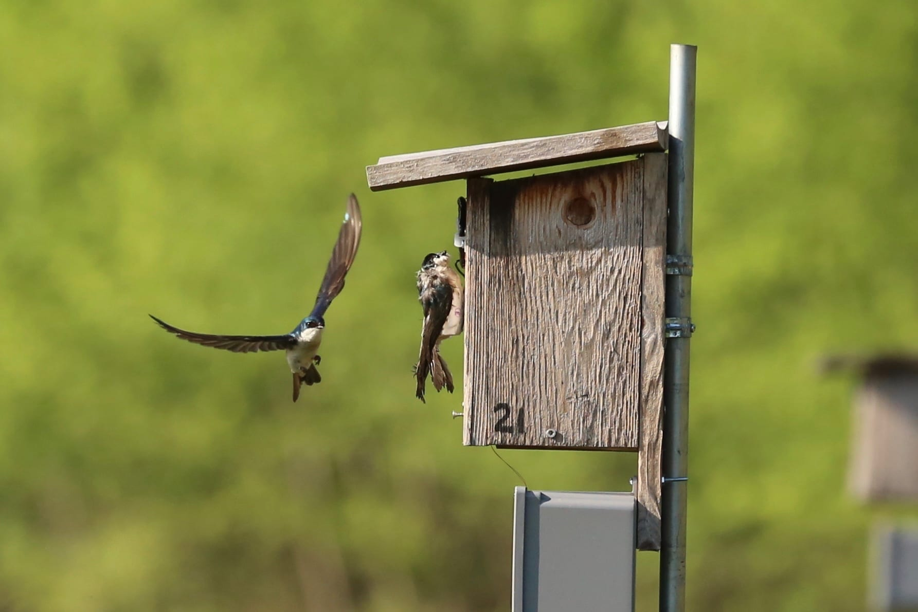 An adult bird flies toward a 3D-printed bird decoy of the same species that is resting at the opening of a wooden bird box. The bird box is attached to a metal pole, and the small gray box underneath hold automated readers for recording individual bird's comings and goings. Both the resident bird and decoy have white feathers on their abdomens and iridescent green-blue feathers on their heads, necks, and backs.