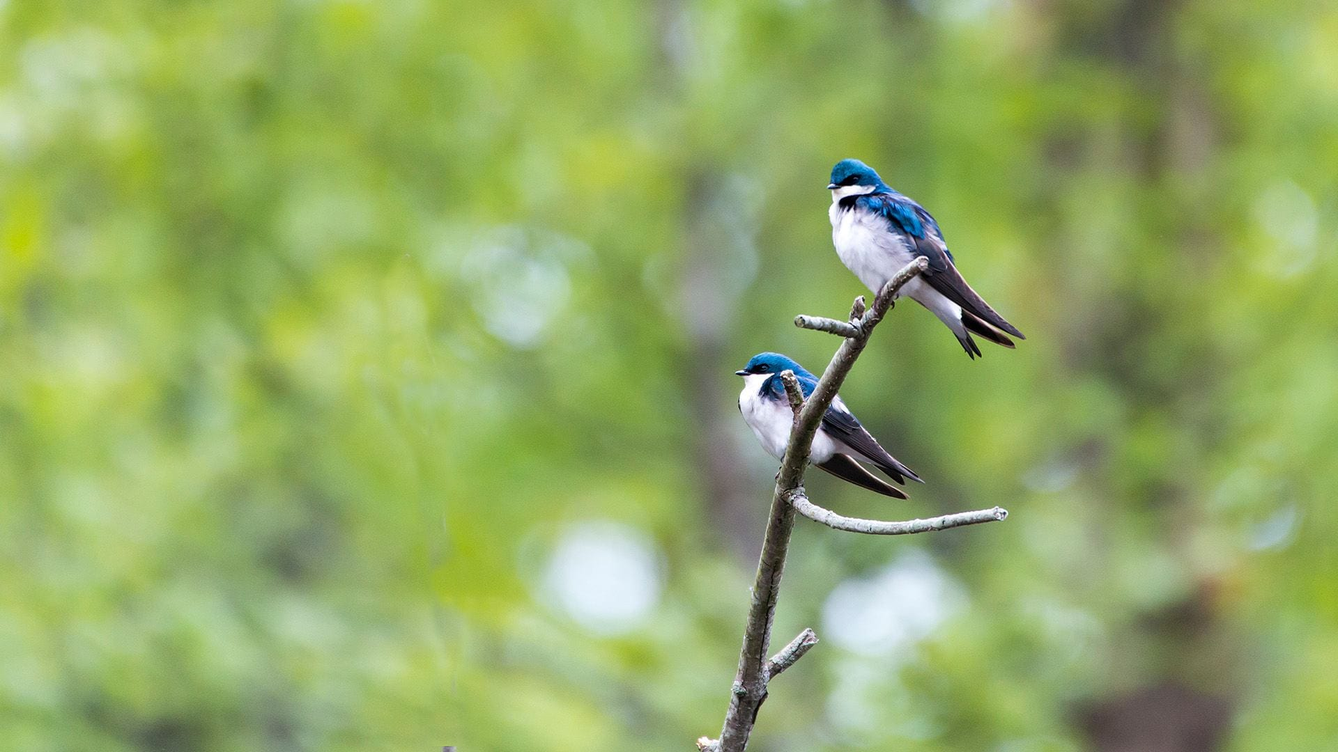 Two adult birds are perched on top of a tree branch in the foreground, and bright green leaves are visible in the background. The birds have white feathers on their abdomens, black feathers on their lower backs and tails, and iridescent green and blue feathers on their heads, necks, and upper backs.