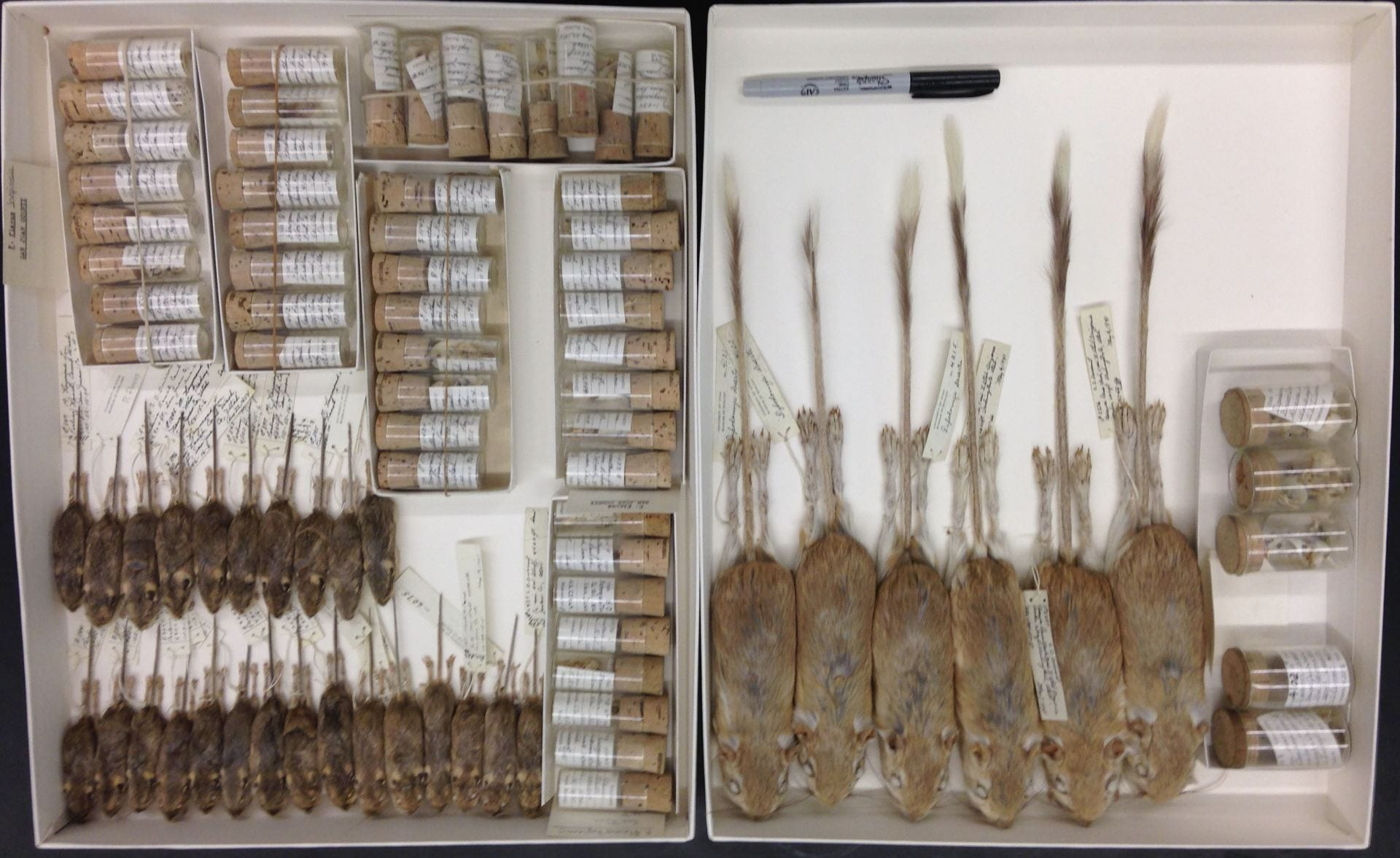 Photos of museum collection specimens of preserved silky pocket mice (Perognathus flavus) and kangaroo rats (Dipodomys ordii) used for stable isotope analysis. Skeletons are enclosed in small jars, and stuffed prepared skins are aligned in trays.