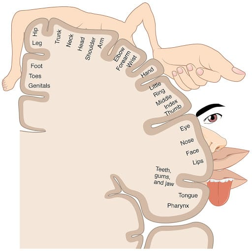 An illustration of a coronal brain section depicting the somatosensory cortex and the map of body parts to each brain region. Areas dedicated to the mouth (lips, tongue, throat), and hands are considerably larger than other cortical spaces dedicated to other body parts.