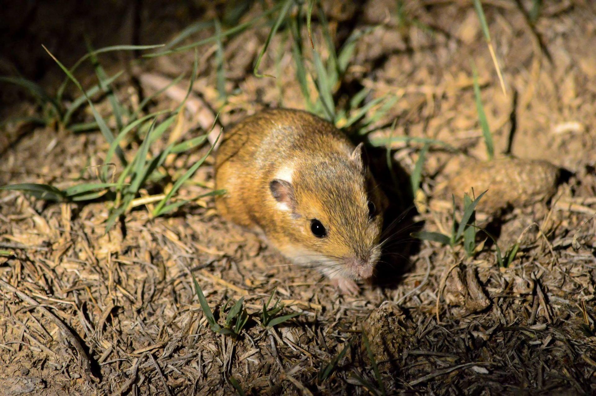 Photograph of a silky pocket mouse (Perognathus flavus)