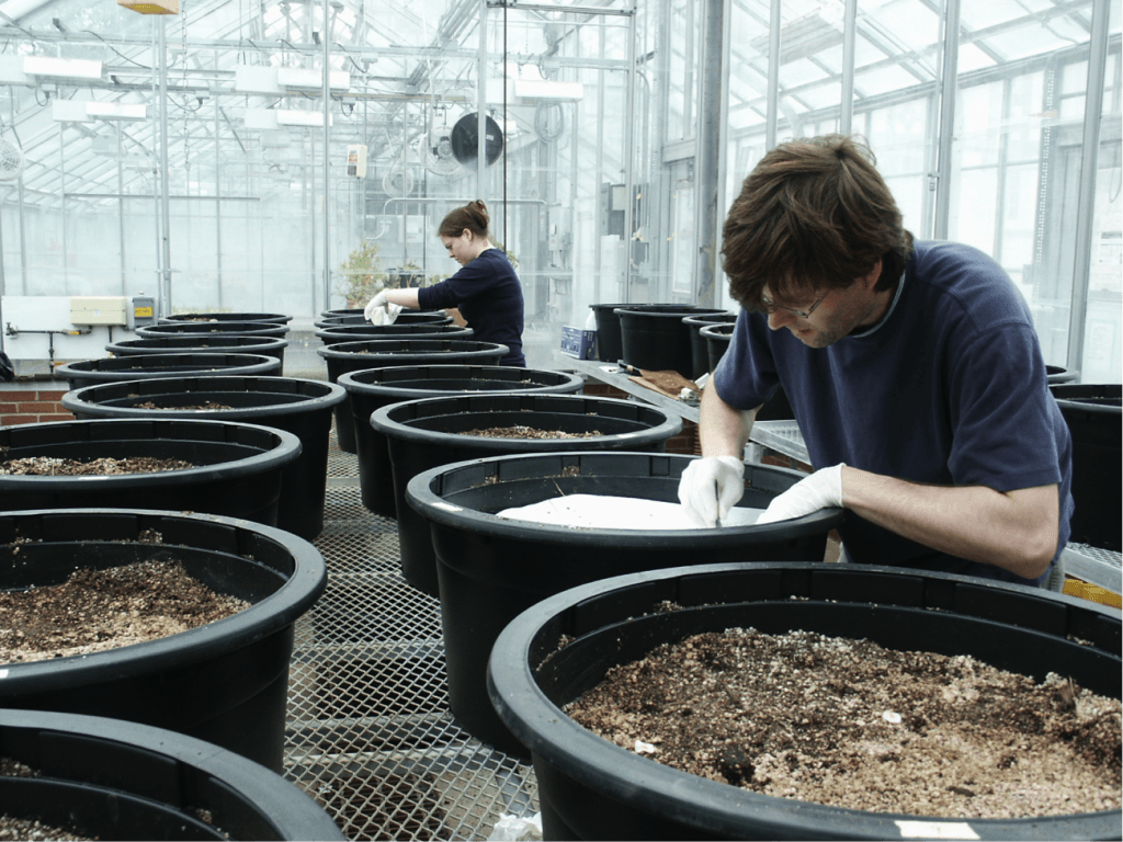 Mark Hammond is planting seeds in a large pot filled with soil for the mesocosm experiment. Pots are lined up in two rows on shelving in a greenhouse. Another lab assistant is planting seeds in another pot in the background.