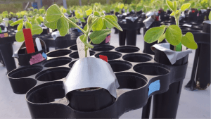 "Small pots containing soybean seedlings for an experiment in the Lau lab. Duct tape is used as a creative way to block water from seedlings that are being treated with ""drought stress"" in the field."
