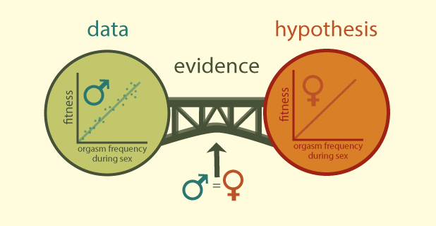 "This graphic also has the same structure as figure one. The data circle has a 2 dimensional line graph. It is plotting the positive relationship between male fitness and male orgasm frequency during sex. The hypothesis circle has the same graph but for female fitness and orgasm. The bidge between them (""evidence"") is the background knoweldge that ""females are just like males."""