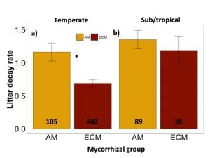 Leaf litter decay rates of arbuscular mycorrhizal and ectomycorrhizal-associated trees across temperate forests are shown in Figure 1a. Arbuscular mycorrhizal tree species, with a sample size of 105 observations, had leaf litter decay rates approximately double that of ectomycorrhizal tree species, with a sample size of 242 observations. In contrast, in Figure 1b, which shows these groups in sub/tropical forests, there was no significant difference in leaf litter decomposition rates between arbuscular and ectomycorrhizal groups (sample sizes of 89 and 18, respectively).
