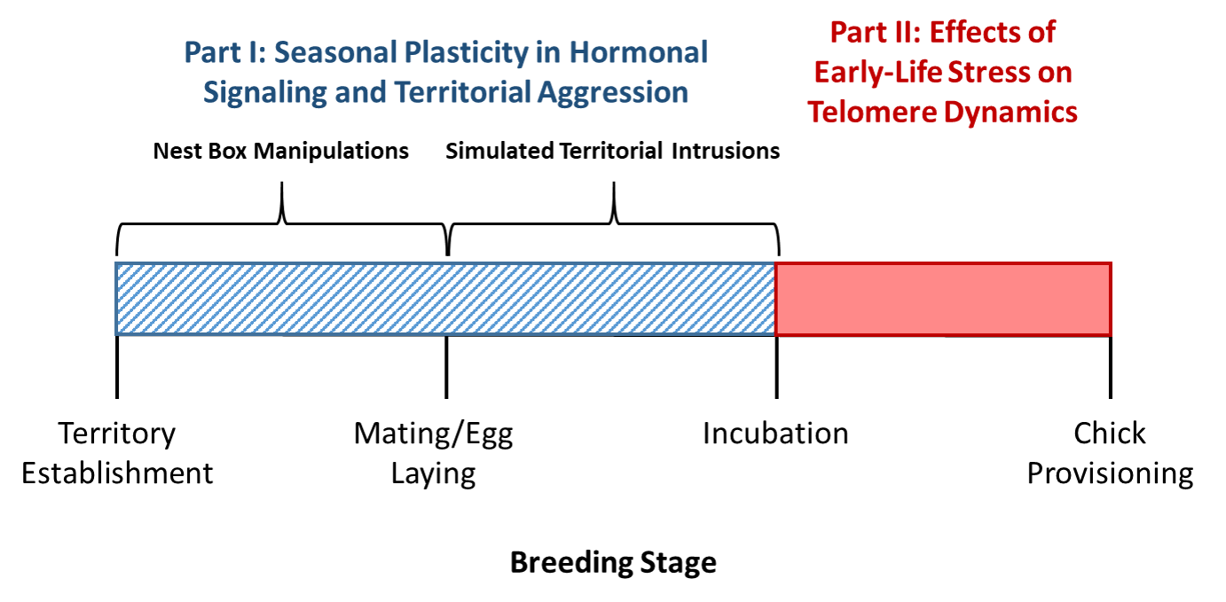 """A timeline of different breeding stages is shown in black, which contains tick marks with text that describes each stage. In chronological order (from left to right on the timeline), the stages are territory establishment, mating/egg laying, incubation, and chick provisioning. A blue box with hatch marks is shown over the tick marks for the territory establishment, mating/egg laying, and incubation stages; and a solid red box is shown over the tick marks for the incubation and chick provisioning stages. Black text that reads """"Nest Box Manipulations"""" is located over top of the blue box, between the territory establishment and mating/egg laying breeding stages. Black text that reads """"Simulated Territorial Intrusions"""" is located over top of the blue box, between the mating/egg laying and incubation breeding stages. Blue text that reads """"Part I: Seasonal Plasticity in Hormonal Signaling and Territorial Aggression"""" is located above the black text, and red text that reads """"Part II: Effects of Early-Life Stress on Telomere Dynamics"""" is located over top of the red box."""