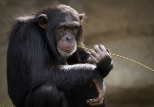A chimpanzee chewing on a stem.