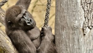 A female gorilla rests in on an indoor jungle gym for primates.