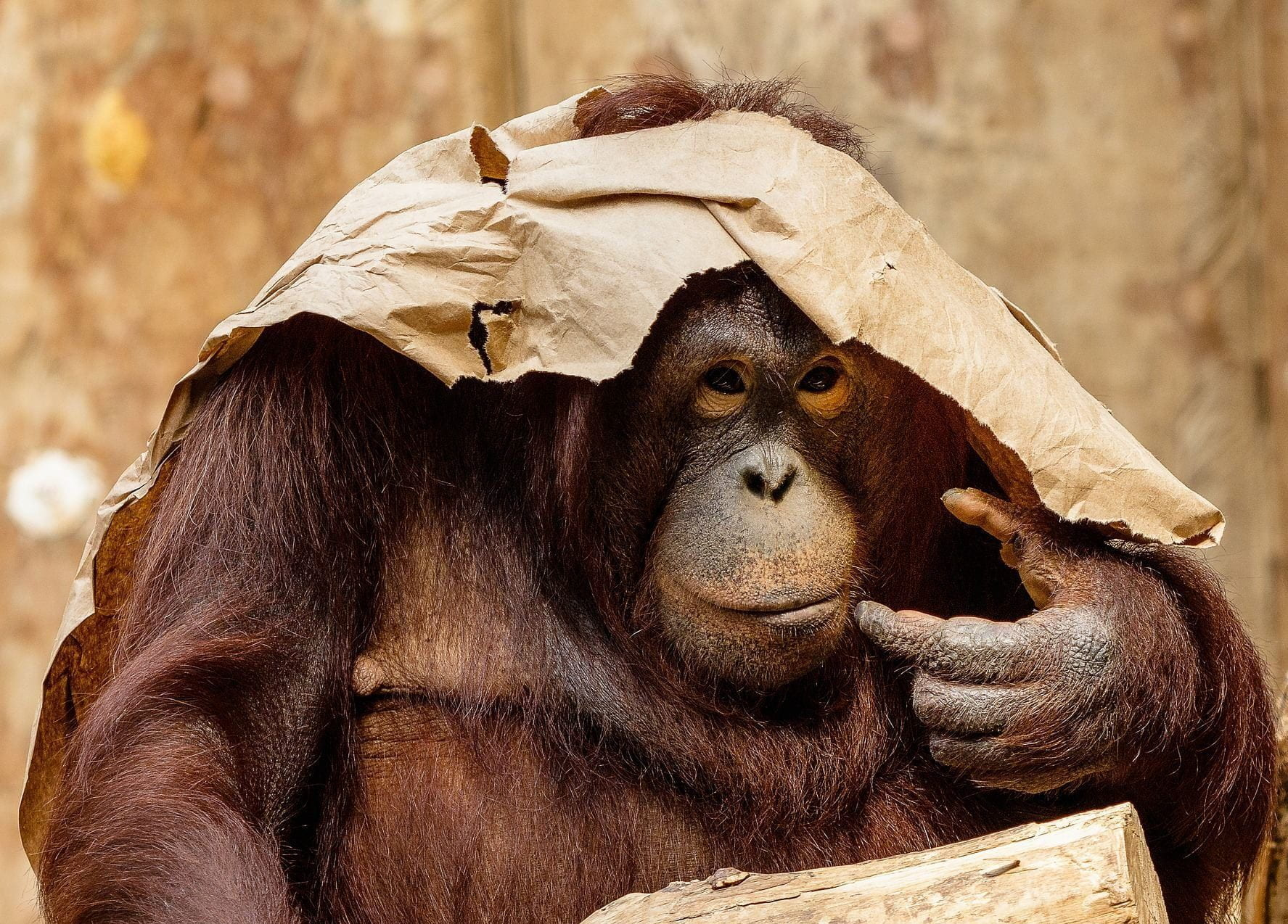 An orangutan with a ripped paper bag on her head acting as a hat.