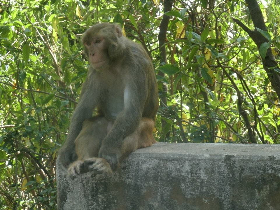 A macaque sitting on the wall of a temple in Kathmandu, Nepal.