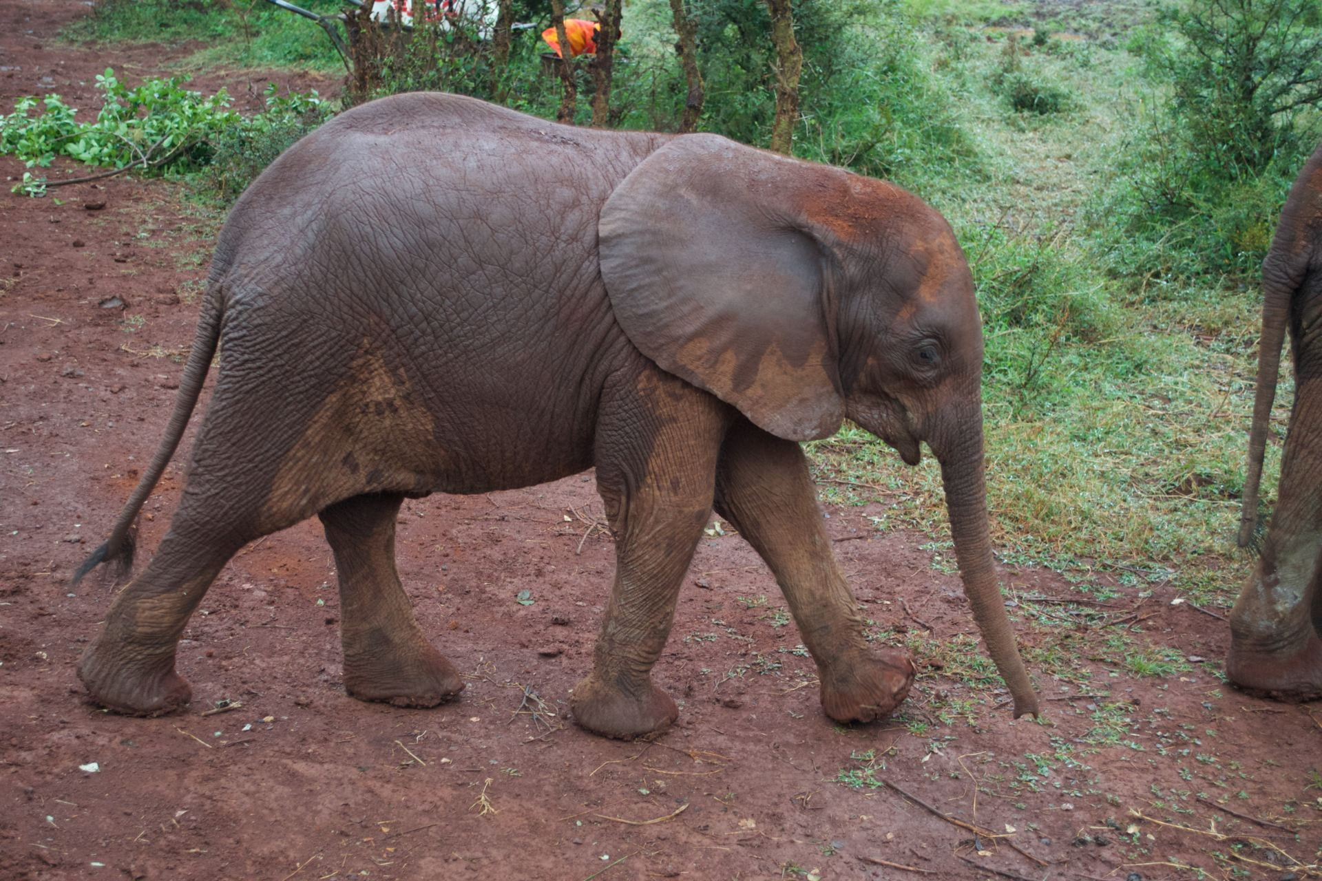 A juvenile African bush elephant at the David Sheldrick Wildlife Trust.