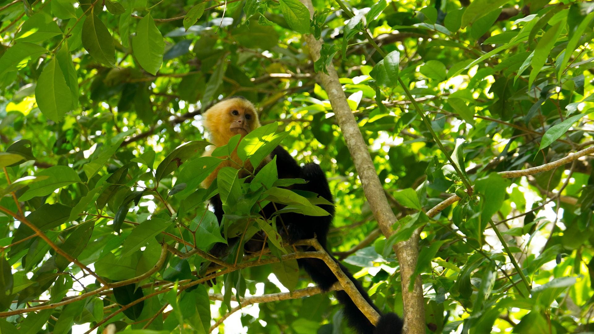 An adult capuchin monkey hides up in the trees.