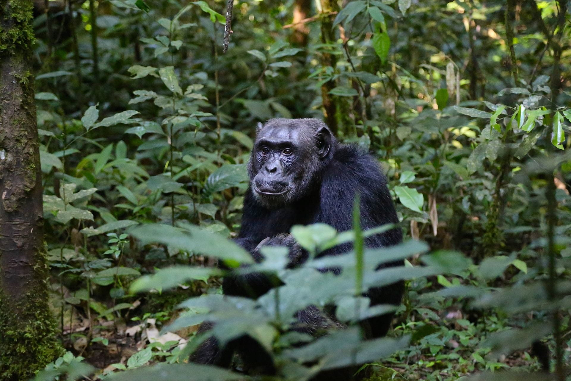 A male chimpanzee sits alone in the forest looking off past the camera.