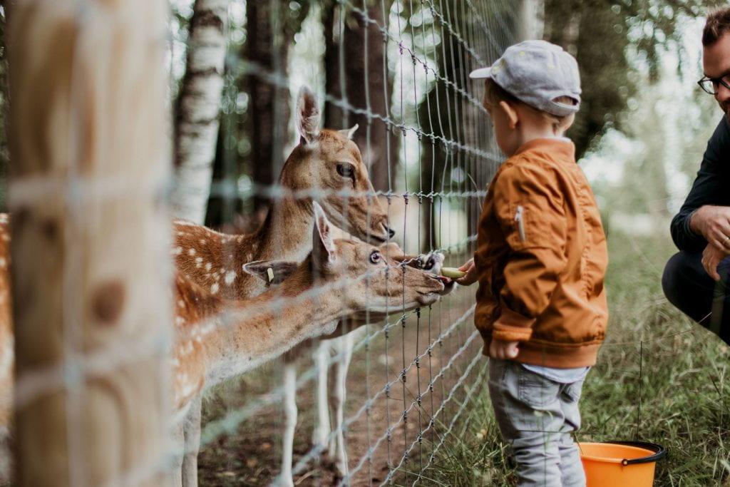 A young boy feeding a deer